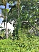 La végétation est luxuriante à Hilo
